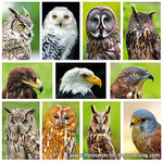 Owl / Raptor postcard set