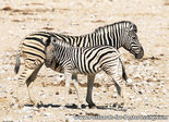 Burchell's zebra postcard