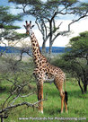 Masai Giraffe postcard
