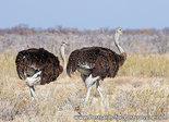 Common ostrich postcard