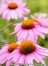 Flower postcard Coneflower