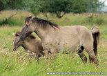 Postcard Konik horses
