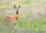 Deerpostcard