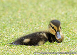 Young duckling postcard