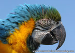Blue yellow macaw postcard