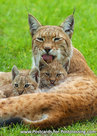 Lynx postcard