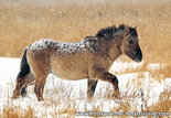 Konik horse postcard