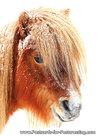 Shetland pony postcard