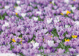 Crocuses postcard