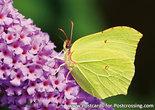 PostcardLemon butterfly