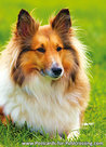 Shetland sheepdogpostcard