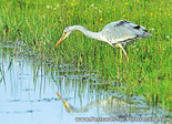 Grey heron postcard