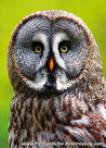 Great gray owl postcard
