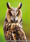 Long eared owl postcard