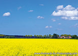 Postcard rapeseed fields