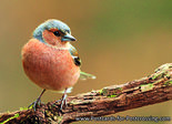 Common Chaffinch postcard