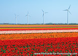 Postcard tulips with windmills