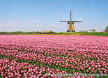 Postcard Berkmeer mill with tulips