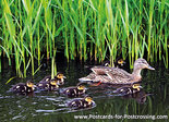 Duck with ducklings postcard