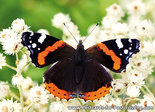 Postcard Red Admiral
