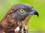 European honey buzzard postcard