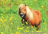 Postcard Shetland pony