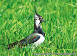 Northern lapwing postcard
