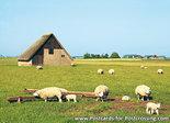 Postcard Schapenboet onTexel
