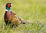 Common pheasant postcard