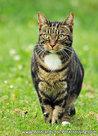 Postcard cat (Felis catus)