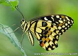 Postcard Lemon butterfly