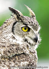 Canadian owl postcard