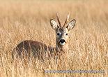 Postcard Deer
