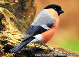 Bullfinch postcard