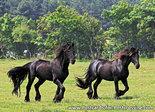 Friesian horsespostcard