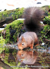 Postcard drinking Red squirrel