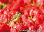 Postcard Western yellow wagtail in tulip field
