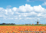 Postcard Mill with tulip field