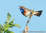 Bluethroat postcard