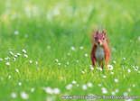 red squirrel card - red squirrel postcards
