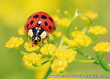 Lady beetle postcard