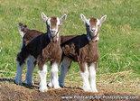 Postcard goats