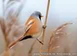 Bearded reedling postcard