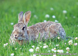 Postcard European rabbit
