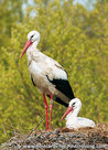 Storks on nest postcard