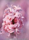 Hyacinthus orientalispostcard