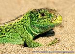 Sand lizard postcard