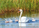 Mute swan with young postcard