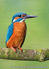 kingfisher on a twig postcard