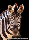 Zebra card - zebra postcard